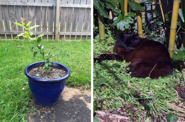 My newly potted Lemon Tree and cat Mickey